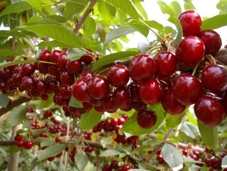Beneficiile consumului de cireșe
